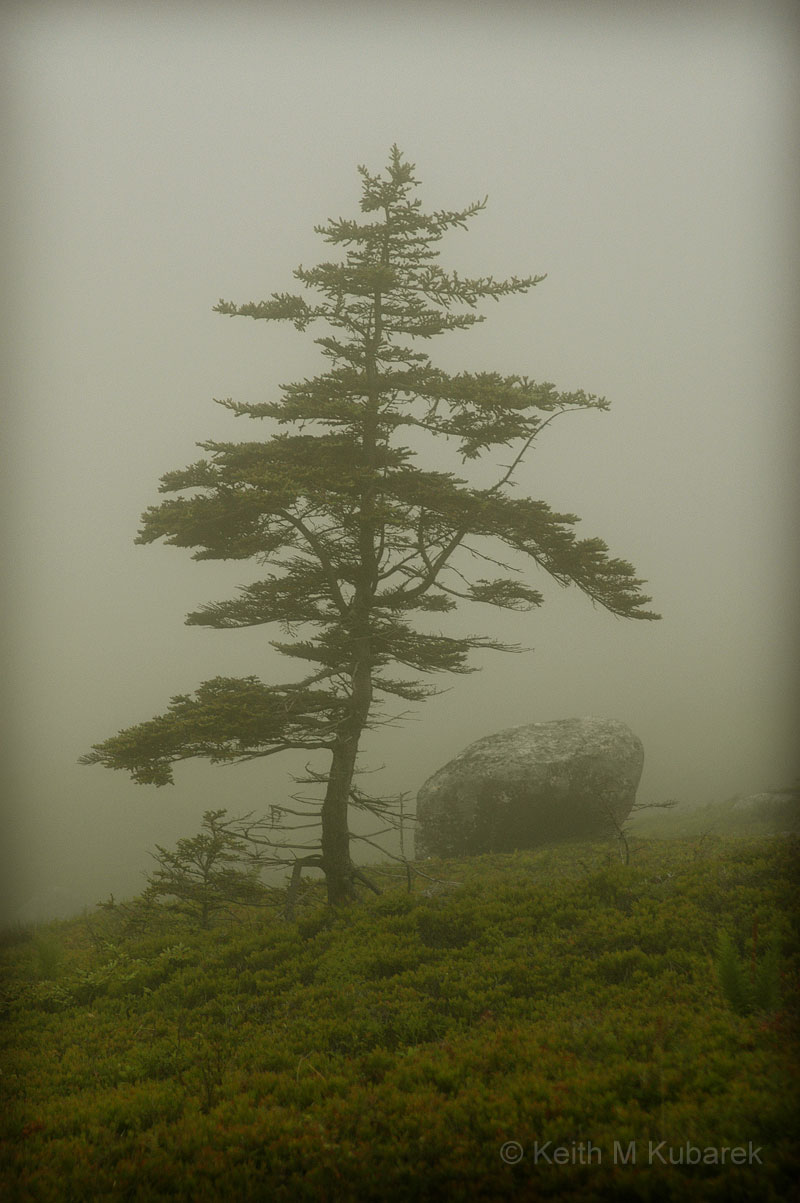 Nova Scotia Tree & Fog